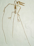 Fossil Pterosaur Ramphorhynchus gemmingi found in Bavaria