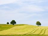 Oak trees in cut pasture in Bavaria