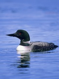 Adult Common Loon (Gavia Immer)  Northern Saskatchewan  Canada