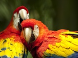 Scarlet Macaws at Zoo Ave Park  Outside San Jose