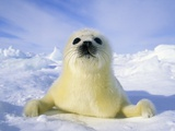 Newborn Harp Seal (Phoca Groenlandica) Pup (yellowcoat)  Gulf of the St Lawrence River  Canada Na