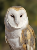 Barn Owl (Tyto alba) at the Sonoran Desert Museum  Tucson  Arizona  USA