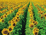 Sunflower Field Near Oakbank  Manitoba  Canada