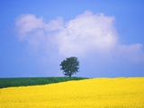 Canola Crop with Lone Tree  Blue Sky and Cumulus Clouds in South of France
