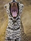 Male leopard yawning