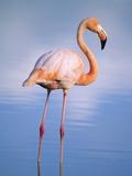Greater Flamingo (Phoenicopterus Ruber)  Isabela Island  Galapagos Archipelago  Ecuador