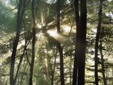 Sunbeams shining through beech forest