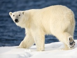 Polar Bear on Snow Covered Iceberg at Spitsbergen