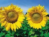 Sunflowers Near Oakbank  Manitoba  Canada