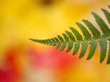 Fern leaf in fall