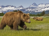 Grizzly Bears at Hallo Bay in Katmai National Park
