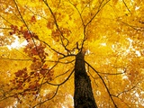 A Sugar Maple (Acer Saccharum) in Fall Colours  Mississagi Provincial Park  Ontario  Canada