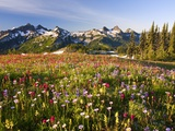 Tatoosh range behind wildflowers in field