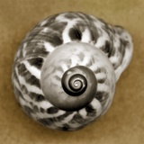 Tiger Snail