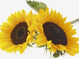 Two sunflowers (Helianthus annuus)  close-up