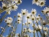 Sun and blue sky through daisies