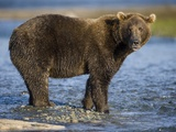 Brown Bear in Stream at Kukak Bay in Katmai National Park