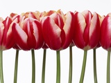 Red Tulips  Close Up  White Background