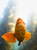 Garibaldi Fish
