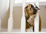 Bulldog puppy with head between balusters