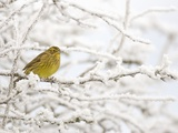 Adult Female Yellowhammer Perched on Frost Covered Branches