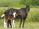 Horses (Equus Caballus) Female with Paint Foal  Ranch  Southwest Alberta  Canada