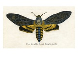 The Death's Head Hawk-Moth