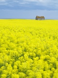 Barn and Canola Field  Southern Saskatchewan  Canada