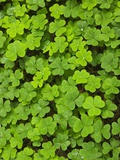 Clover Muir Woods National Park California USA