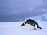 Emperor Penguin (Aptenodytes Forsteri) at the Edge of the Shorefast Ice  Drescher Inlet  72 Degrees