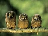 Young Boreal Owl Chicks (Aegolius Funereus)  Northern Alberta  Canada