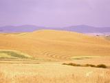 Rolling Wheat Fields