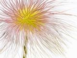 Fruit of an Alpine pasqueflower