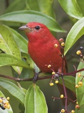 A Male Summer Tanager (Piranga Rubra) in Costa Rica