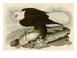 White Headed Eagle Giclée par John James Audubon