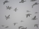 Flock of barnacle geese flying through heavy fog