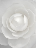 White camellia