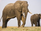 Elephant Bulls Grazing on Chobe River Flood Plain