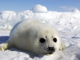 Harp Seal on the Ice in the Gulf of St Lawrence  Maritime Provinces  Canada