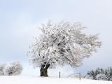 Hoar frost on beech trees in the Black Forest