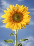 A Sunflower Against Blue Sky