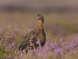 Red grouse standing on alert in moorland