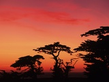 USA  California  Carmel  Highway 1 on Coast  Pebble Beach  Juniper Trees at Sunset