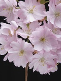 Pink Cherry Blossom  close-up