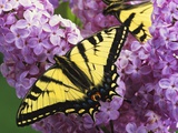 A Canadian Tiger Swallowtail Butterfly (Papilio Canadensis) in the Maritimes  Newfoundland and Labr