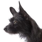 Black toy terrier