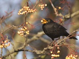 Eurasian blackbird foraging berries from tree