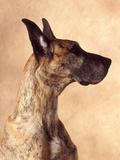 Profile of a Great Dane