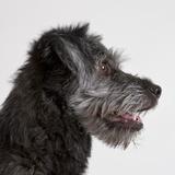 Wolfhound puppy