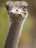Common Ostrich